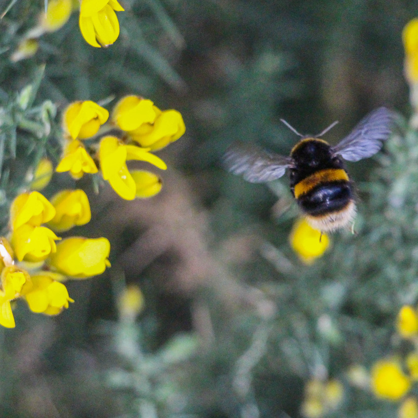 White tailed bee on gorse