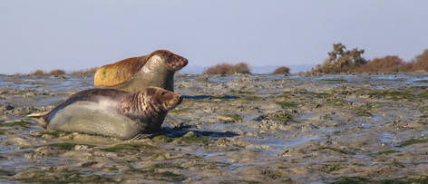 Grey and common seals