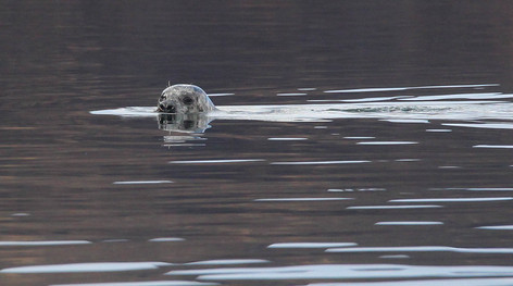 Common or Harbour Seal