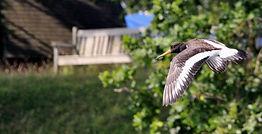 Oystercatchr, in flight, Beaulieu River