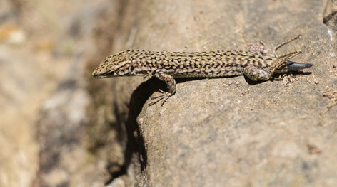 Common Lizard, lost its tail