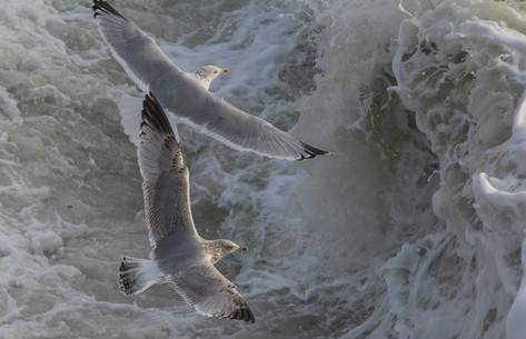 Gulls above the waves