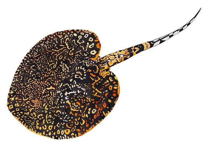 Stingray art print