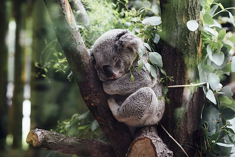 Koala sleeping - Brisbane travel guide