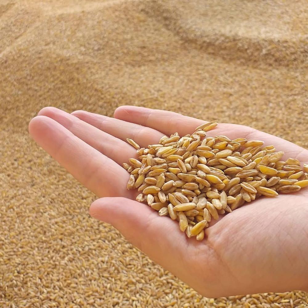 100% ancient durum wheat semolina Saragolla Turchesco Khorasan