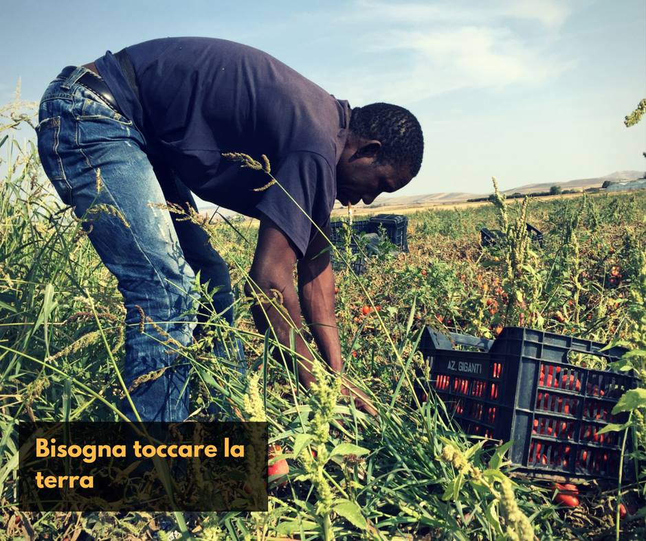 tomatoe field plucking