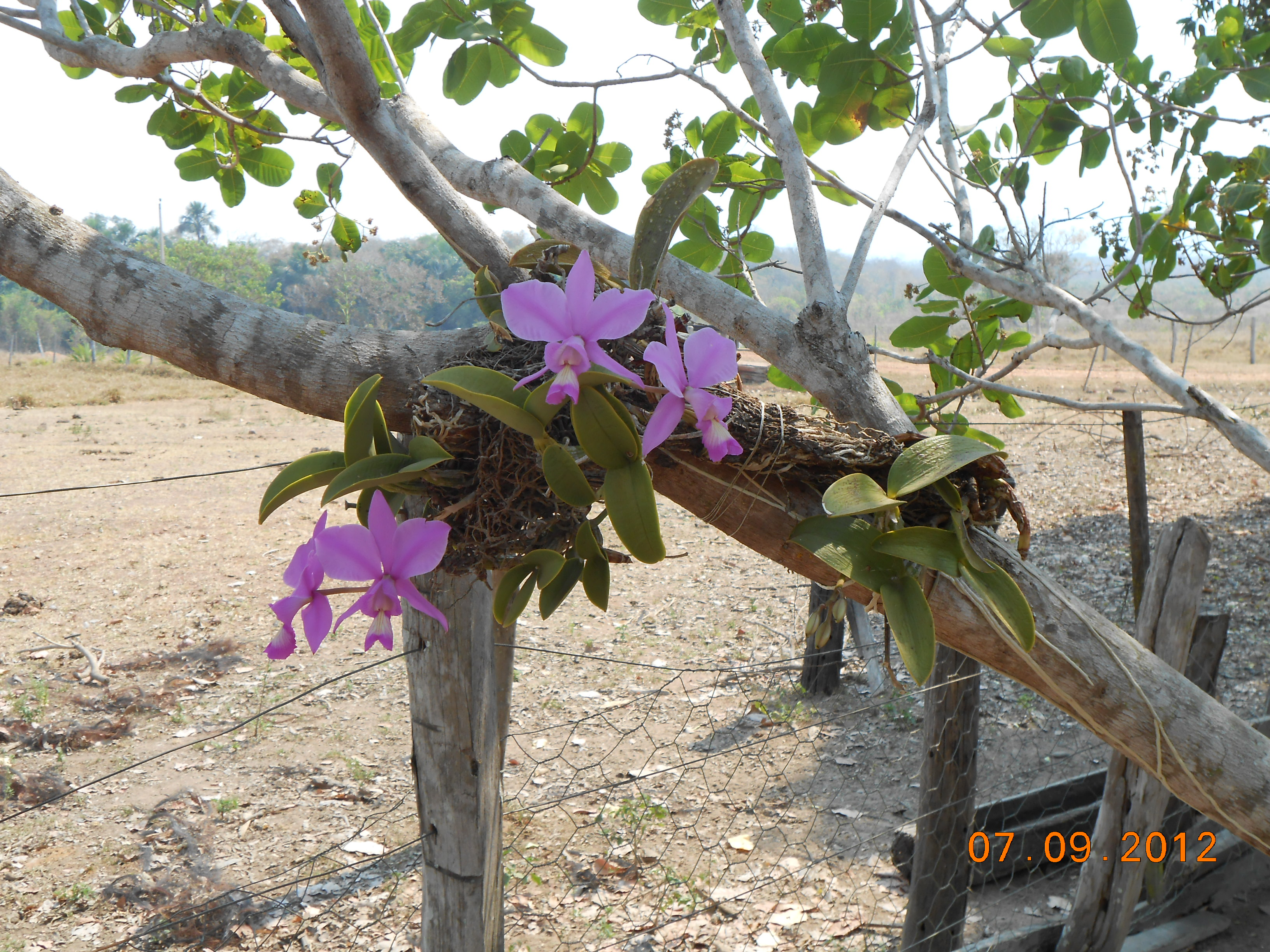 Beleza cênica da orquídea do cerrado