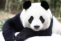 Panda1.png