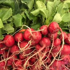 greenhouse radishes