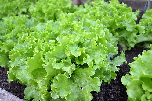 Salade Battavia / Pièce