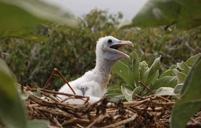 Une dizaine d'oiseaux marins nichent sur l'île (ici, poussin de frégate). La plupart font un nid, directement sur le sol, offrant ainsi œufs et poussins à la portée du rat.