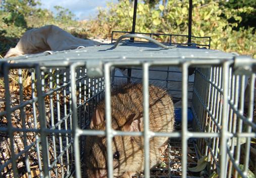 Vérification de la diminution de la population de rats suite à l'empoisonnement, par une pose de pièges contenant du beurre de cacahouète dont ils sont friands.