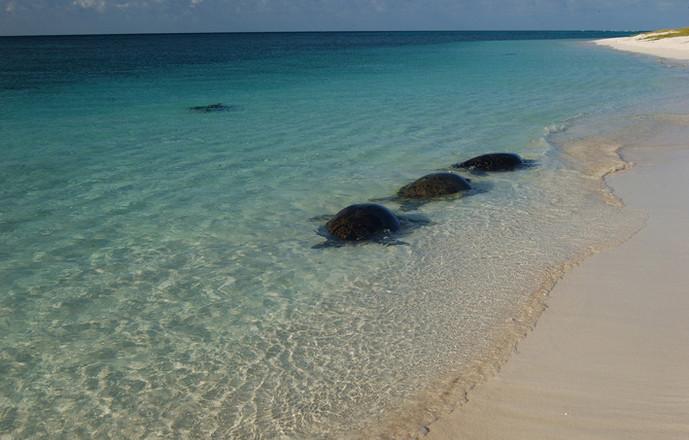 Toute la journée, des tortues vertes nagent aux abords de la plage en attendent la nuit pour venir y déposer une centaine d'œufs. Après 60 jours d'incubation, les petites tortues, dont les rats sont prédateurs, sortiront de leurs nids enfouis à 70 cm de profondeur… les plus chanceuses rejoindront l'eau.