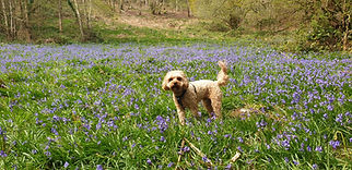 Harry in the Bluebells