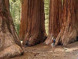 Kopie von Mammutbäume in Kalifornien.jpg