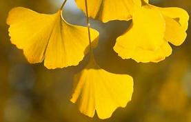 Gingko Herbstfärbung(1).PNG