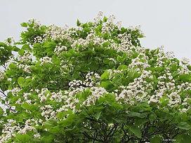 Catalpa ausgewachsener Baum.jpg
