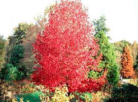 Amberbaum Herbstfärbung.jpg