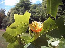 Tulpenbaum Blüte.jpg