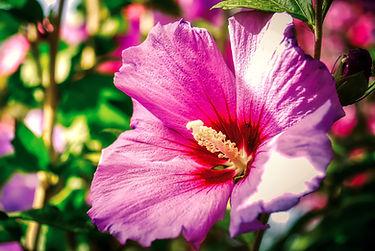 hibiscus-5804285_1920.jpg