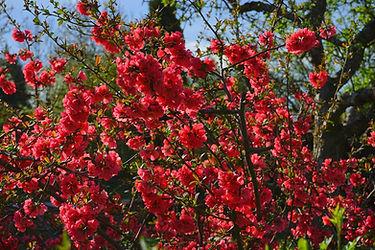 japanese-ornamental-quince-324372_1920.j