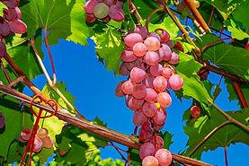 grapes-3633375_1920.jpg