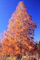 Kopie von Urweltmammutbaum_Herbstfärbung