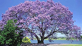 Kopie von Paulownie Baum.jpg