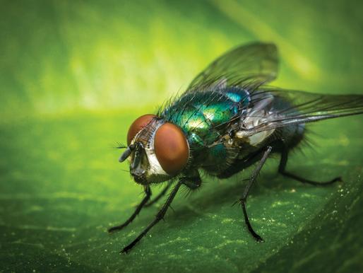 🥇 A mosca-varejeira é perigosa?