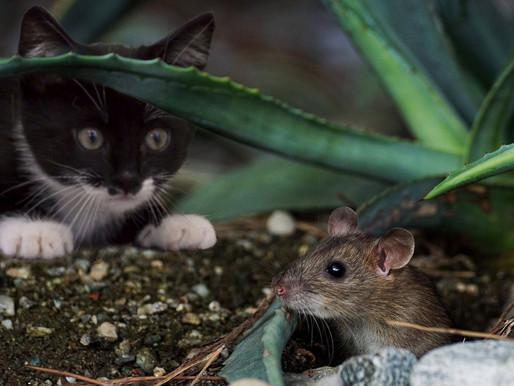 🥇 Saiba como se prevenir dos roedores!