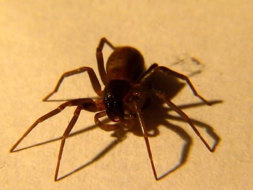 🥇 Aranha marrom: uma praga urbana perigosa!