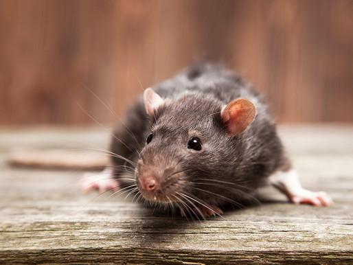 🥇 Ratos e suas doenças