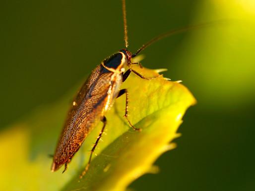🥇 Sinais de infestação de baratas?