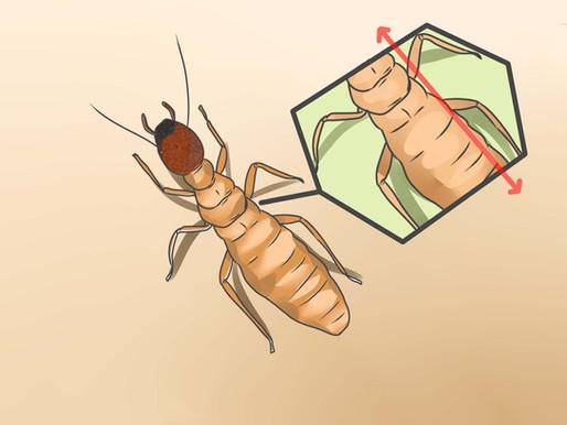 🥇 Como diferenciar cupins de formigas voadoras?