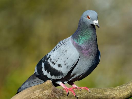🥇 Dicas para afastar pombos?