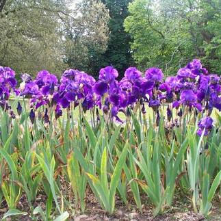 Iris flowers bloom as vividly as Iris Apfel herself.