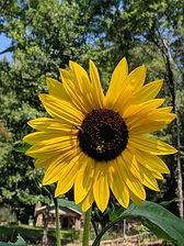 sun_flower.jpg