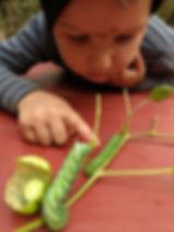 forestschool_garden_discovery_hornworm_o