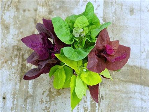 (1lb) Multicolor Orach Greens (Wholesale)
