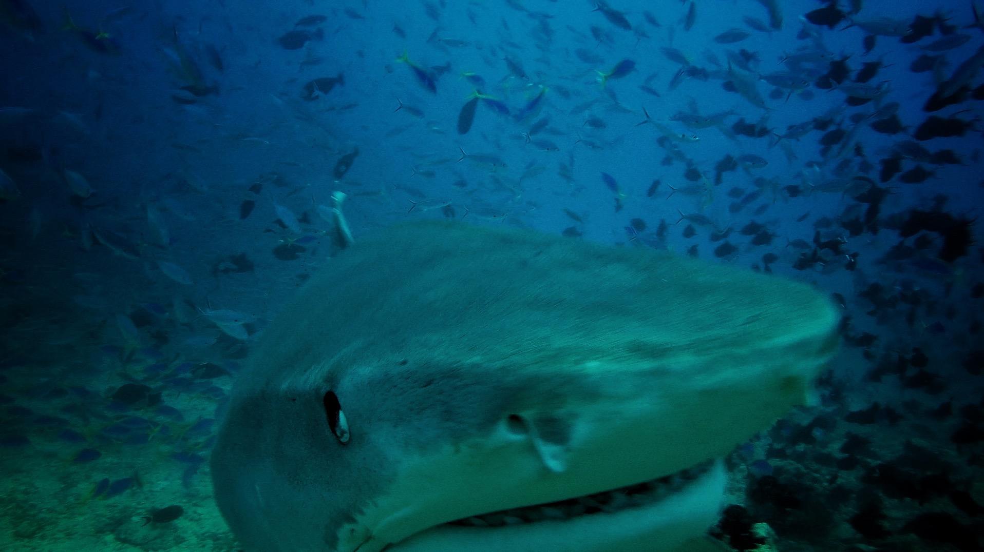 Tiger Shark 02