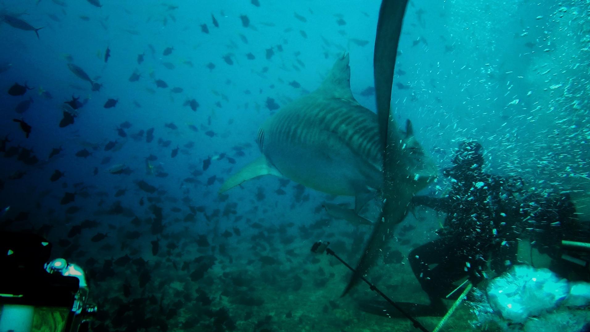 Tiger Shark 09