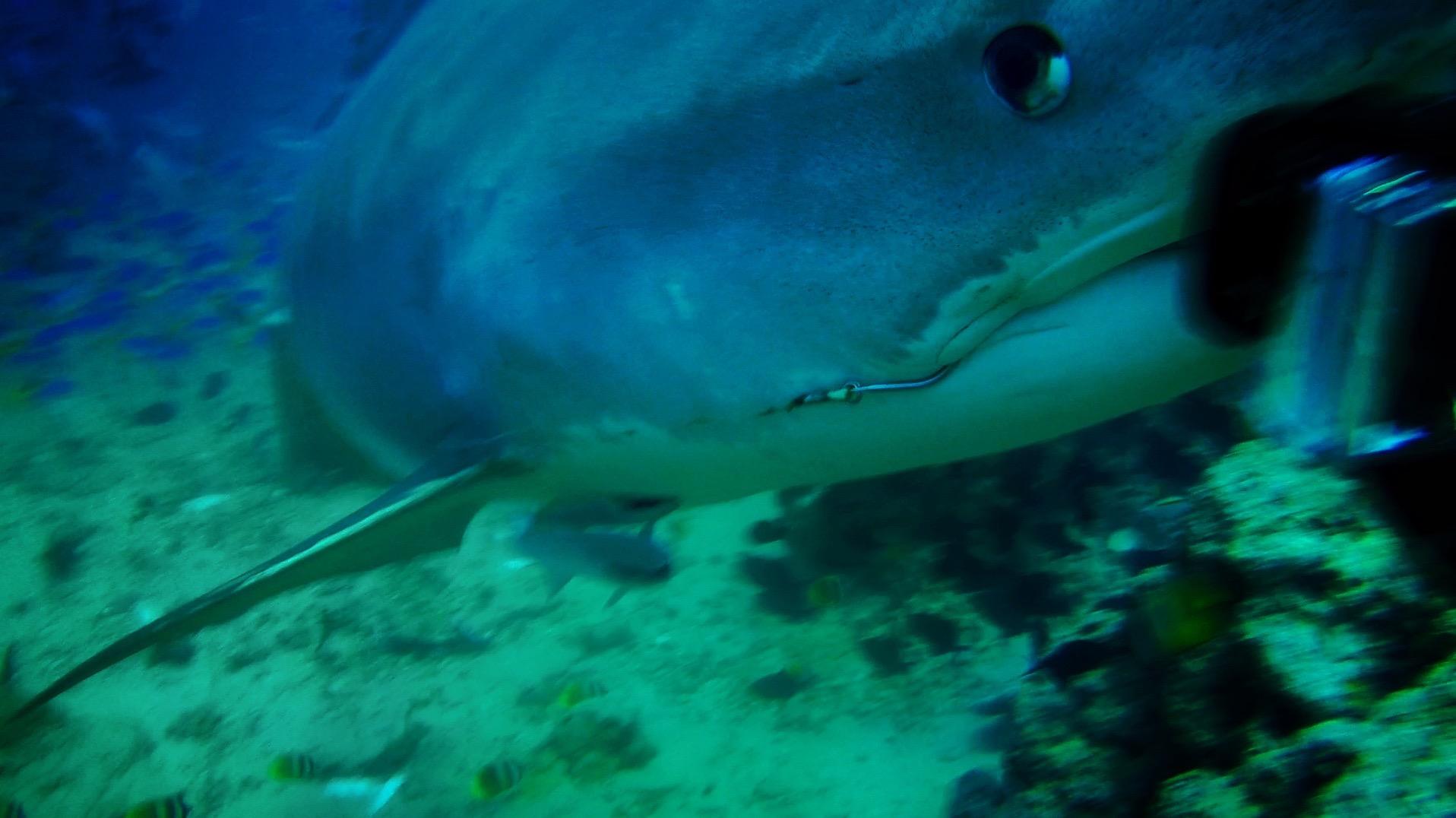 Tiger Shark 07