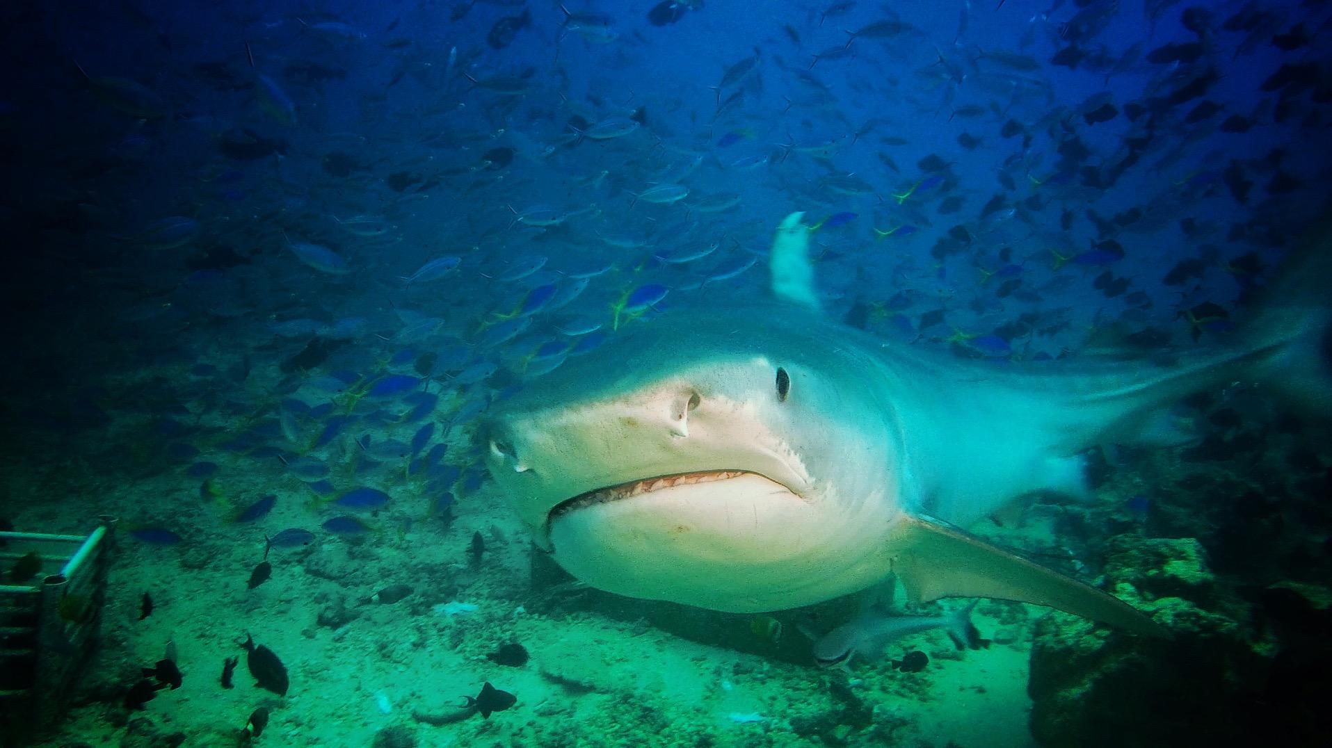 Tiger Shark 01