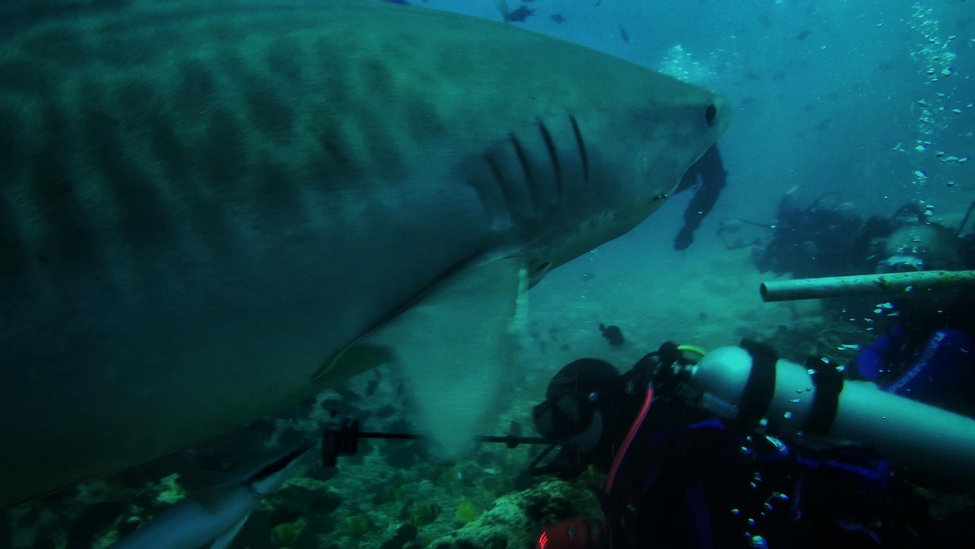 Tiger Shark 08