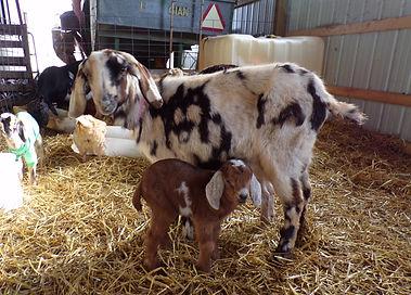 mini-nubian goat milk soap