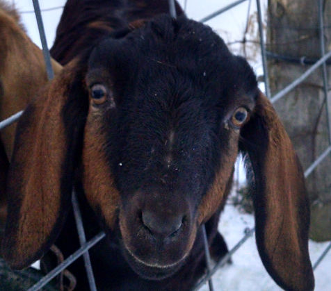 goat milk soap mini nubian