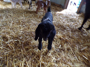 mini-nubian goat milk soa
