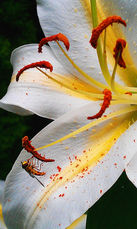 Lily and Bee