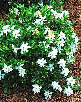 Frost-Proof-Gardenia.jpg