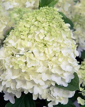 White wedding hydrangea.jpg